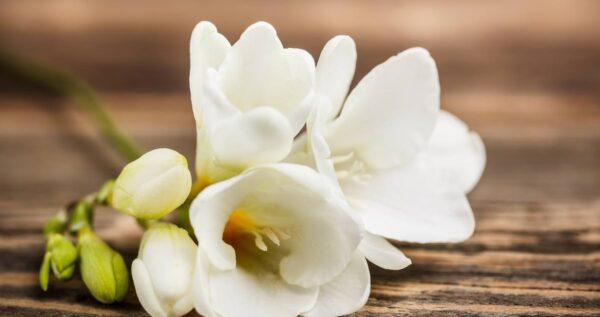 Bukiety ślubne z frezji - jakie kwiaty do nich dobrać i ile kosztują?