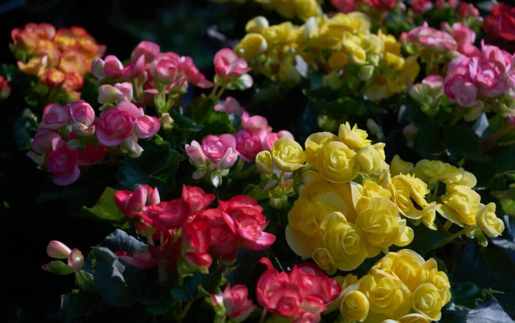 begonia - kwiaty balkonowe
